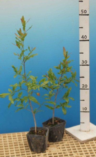 画像3: オクナ・セルラータ 10.5cmポット苗