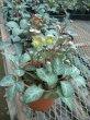 画像2: 原種クリスマスローズ H.リビダス9cmポット (2)