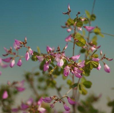 画像1: 四季咲雲南ハギ9cmポット