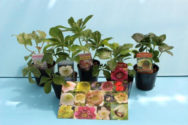 画像1: クリスマスローズ 八重も、一重も、原種も、お買得おみつくろい6ポットセット (1)
