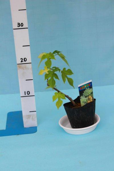 画像2: カジノキ 9cmポット苗