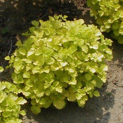 画像1: 黄金葉木いちご9cmポット苗