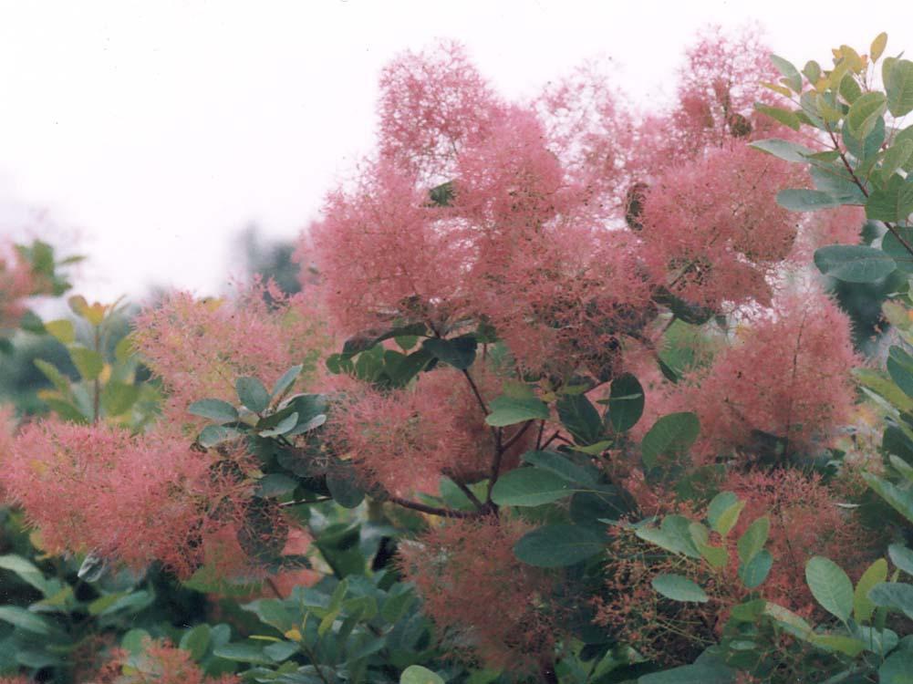 スモークツリー 初夏の花木 専門店の苗木通販 販売  …